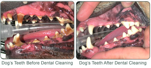 How To Get Plaque Of Dogs Teeth