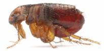 flea-crop2-flip