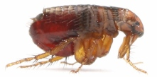 flea-crop2