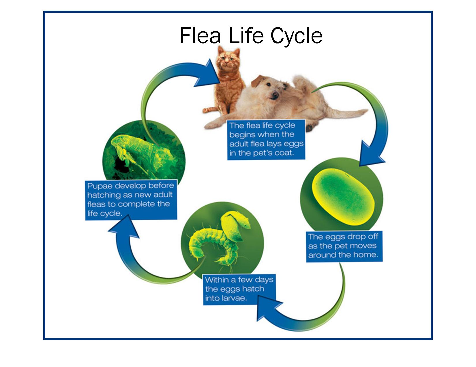 flea-life-cycle